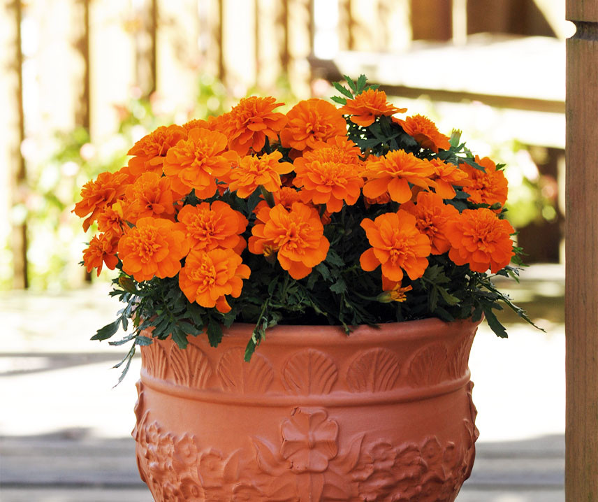 Bonanza Deep Orange, Studentenblume